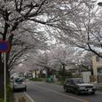 松戸の桜街道(串崎)