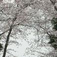 松戸の桜(八柱霊園)