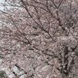 中山競馬場横の桜のトンネル