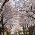 松戸の桜街道
