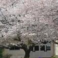 大町小学校の校庭の桜
