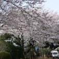 船橋運動公園の桜