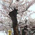 桜の老木、角度を変えて。