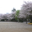 大町小学校のグランドを飾る桜