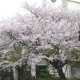 大町小学校の桜