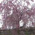 八柱霊園公園の枝垂れ桜