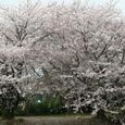 八柱霊園公園の桜は未だ、未だ健在でした。