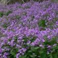 野生の大根の花の群生