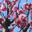 ご近所の桃
