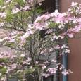 淡桃色の花水木