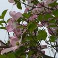 淡桃色の花水木。4枚の大きな包葉に包まれた花。