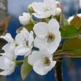 梨の花を一輪一輪眺めていると、清楚で、可憐で、心が洗われる思いがする。