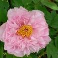 我が家の庭に咲いた牡丹