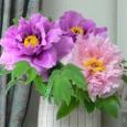 我が家に咲いた牡丹・2種
