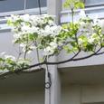 大町小学校校門横の花水木・白