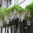 見事に咲いた白い藤の花