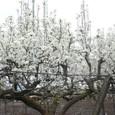 実の収穫の為に剪定された梨の木の外れに、お洒落に残された、観賞用の数本の梨の花