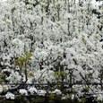桜に匹敵するほど、見事に咲いた梨の花です。