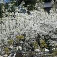 花の向に見える、青家根のお家の梨畑でしょうか。来年も叉、見せて頂きたいですね。