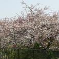 大町71番地の或るお宅の八重桜