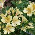山本歯医者さんの自宅の鉢植え・この花の名前は何?