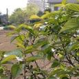 実のなる桜の花で紹介したさくらんぼ