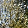 さんしゅゆと白連の花