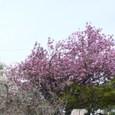 大町71番地の或るお宅の、白色と桃色の二本の八重桜