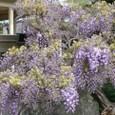 大町71番地の或るお宅の藤の花(咲くのが早いですね)