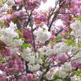 白色と桃色の八重桜、重なり合って、お見事!