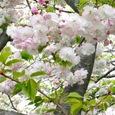 白色(薄紅?)の八重桜、心に染み込む美しさ!