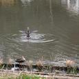 鴨・水上の舞
