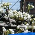 裏の農家の梨の花