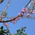 我が家の庭の枝垂れ桜