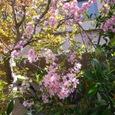 表の小桜と紅葉の新芽が、ほどよいバランス。
