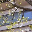 我が家の桜も満開です?