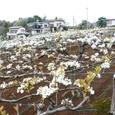 近所の農家の梨畑