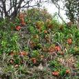 土手の草の間に木瓜の花が・・・・可愛いですね。