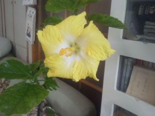 黄色のハイビスカスが一輪だけ、咲きました。