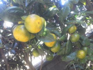 庭の蜜柑です。