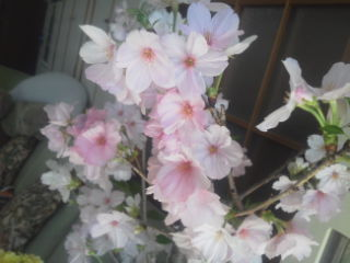 御殿場 桜 border=