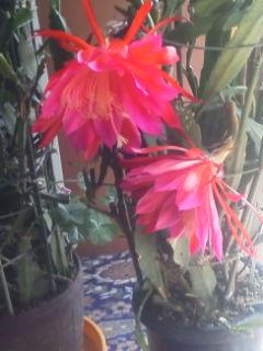 今日は2個咲きました。4個目です。