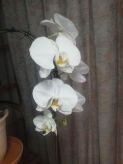 今年は、裕文さん胡蝶蘭に挑戦しました。