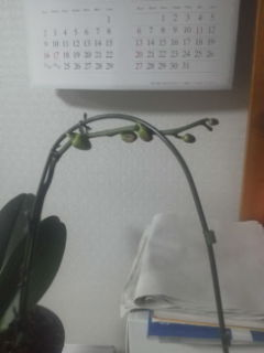 胡蝶蘭の蕾が、5個付きました。