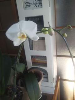 胡蝶蘭Ⅱです。