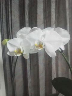 胡蝶蘭Ⅱ、4輪目が開きました。