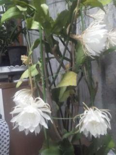 月下美人が今回は7輪咲きましたました。