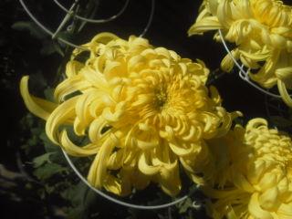 裕文の菊が開花を始めました。