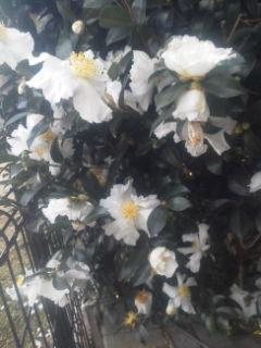 我が家の山茶花です。