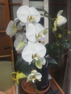 胡蝶蘭、一本の株から三本の花芽です。